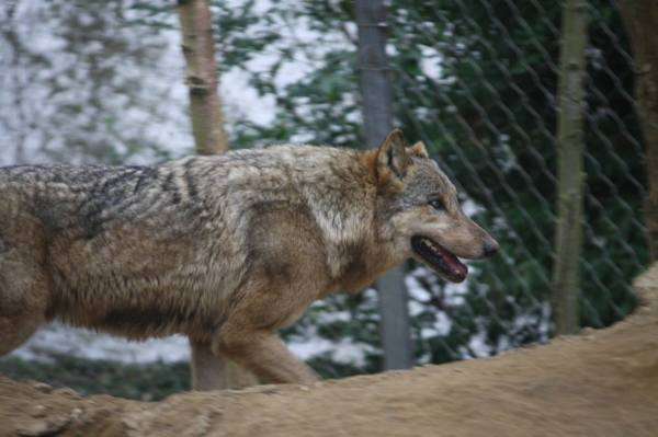 The new wolf, Kera, at Colchester Zoo, on the day she arrived, May 16, 2016 (Photo: Alexander Fiske-Harrison)